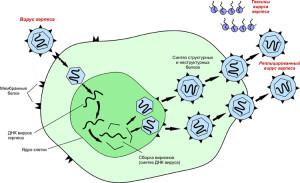Механизм размножения вируса герпеса